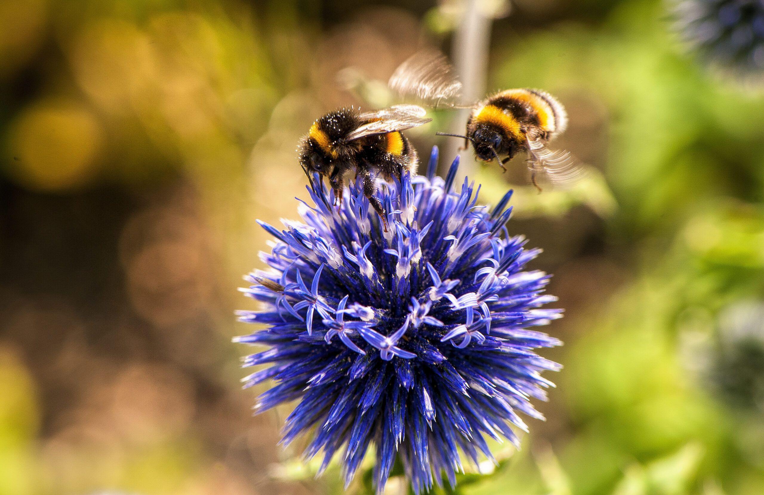 pszczoły na fioletowym kulistym kwiatku