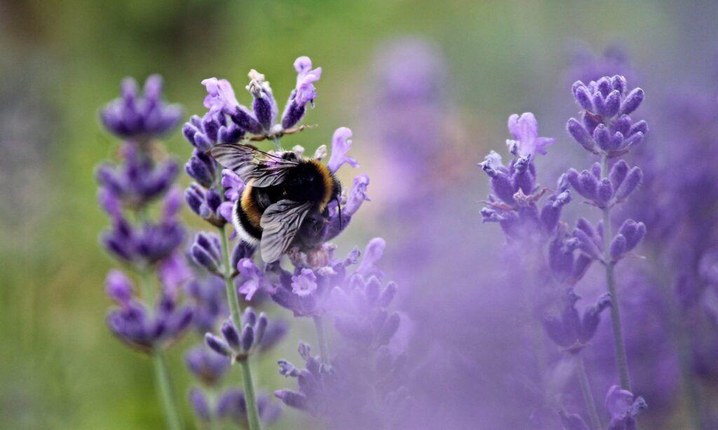 pszczoły nalawendzie